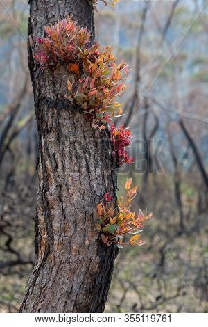 Epicormic Leaf Growth From A Burnt Tree Trunk Triggered After Bush Fires In The Blue Mountains Of Au