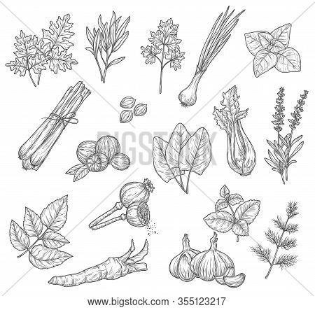 Herb And Sketches, Seasoning And Condiments. Mint, Rosemary And Parsley Leaves, Garlic Dill And Card