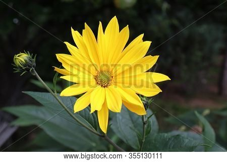 Growing Yellow Helianthus Tuberosus Flower Head Against Its Natural Foliage Background, Also Known A