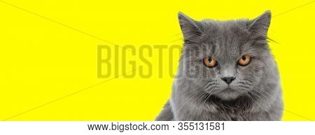 cute british longhair cat with gray fur looking at camera on yellow studio background