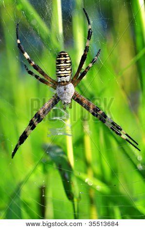 Garden Spider (Argiope bruennichi)