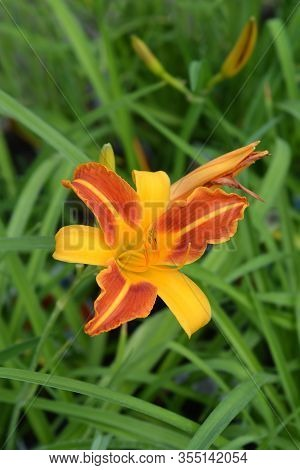 Daylily All American Chief - Latin Name - Hemerocallis All American Chief