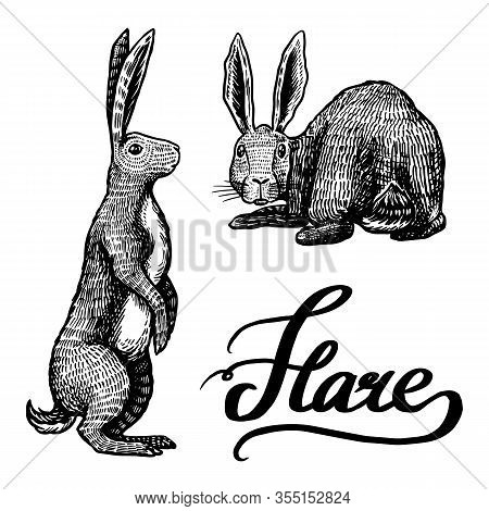 Wild Hares. Rabbits Sits And Stands On Its Paws. Forest Bunny Or Coney. Hand Drawn Engraved Old Sket