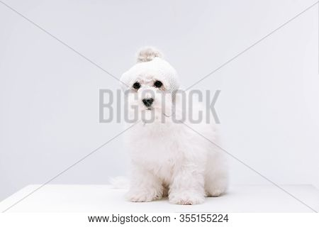 Cute Havanese Dog In Knitted Hat On White Surface Isolated On Grey