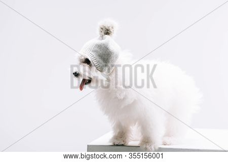 Havanese Dog In Knitted Hat With Bubo Sticking Out Tongue On White Surface Isolated On Grey