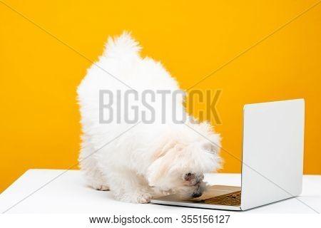 Fluffy Havanese Dog Near Laptop On White Surface Isolated On Yellow