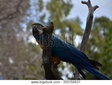 Beautiful Blue And Gold Macaw Bird Sitting Perched In A Tree.