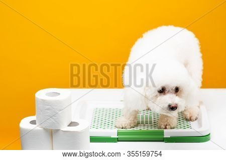 Havanese Dog Sitting On Pet Toilet Near Rolls Of Toilet Paper On White Surface Isolated On Yellow