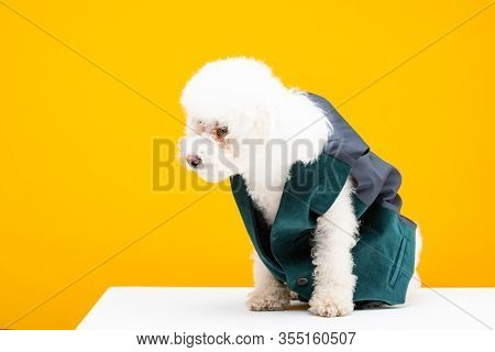 Havanese Dog In Waistcoat Sitting On White Surface Isolated On Yellow