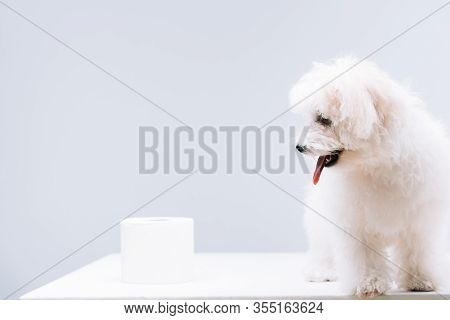Havanese Dog Near Roll Of Toilet Paper On White Surface Isolated On Grey