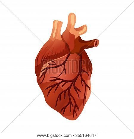 Isolated Human Heart. Muscular Organ In Humans And Animals, Which Pumps Blood Through Blood Vessels
