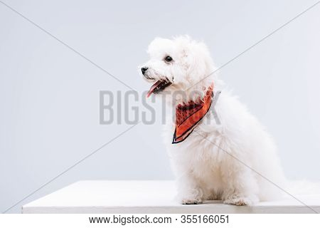 Bichon Havanese Dog With Red Neckerchief Sticking Out Tongue On White Surface Isolated On Grey