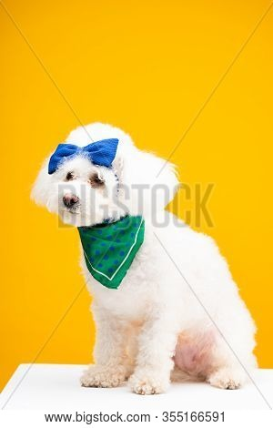 Havanese Dog With Blue Bow Tie On Head And Neckerchief On White Surface Isolated On Yellow
