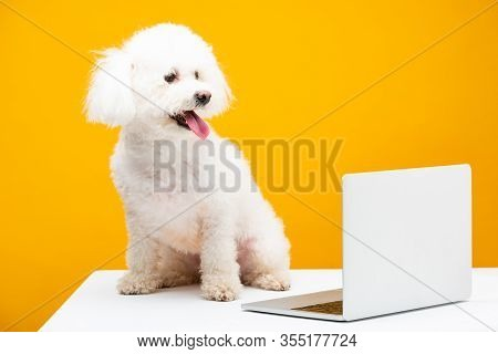 Havanese Dog With Sticking Out Tongue Sitting Near Laptop On White Surface Isolated On Yellow
