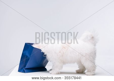Havanese Dog Pushing Head In Blue Paper Bag On White Surface Isolated On Grey