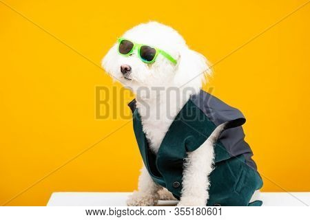 Cute Havanese Dog In Waistcoat And Sunglasses Sitting On White Surface Isolated On Yellow