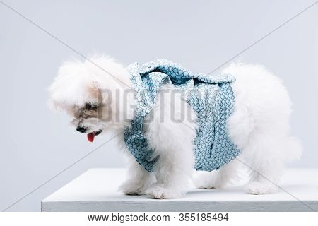 Havanese Dog In Waistcoat On White Surface Isolated On Grey