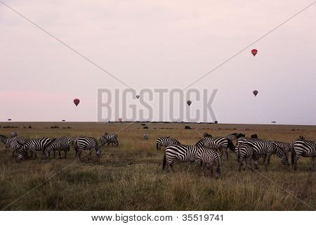 zebras and balloons