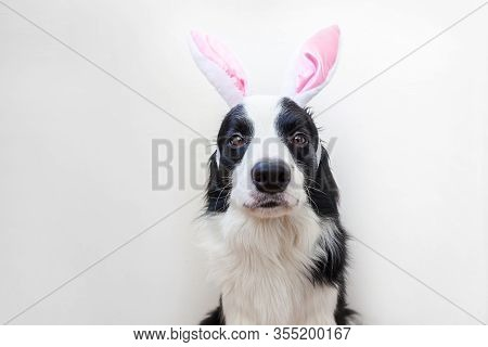 Happy Easter Concept. Funny Portrait Of Cute Smilling Puppy Dog Border Collie Wearing Easter Bunny E