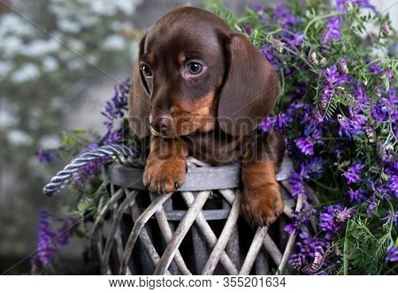 dachshunds puppy and spring flowers , dog portrait