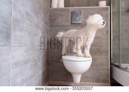 Havanese Dog Standing On Toilet In Bathroom