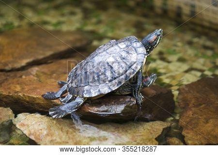 Pair Of Turtles Copulating Indoors In Water Basin. Horizontal Image