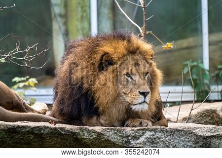 The Lion, Panthera Leo Is One Of The Four Big Cats In The Genus Panthera And A Member Of The Family