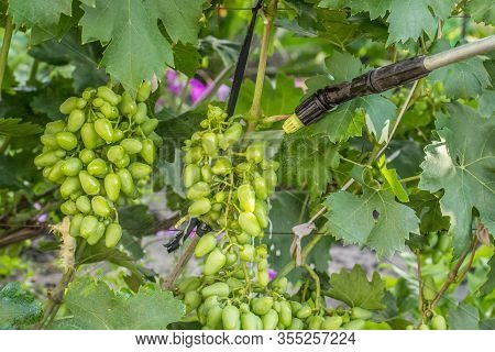 Farmer Is Protecting Grape Bushes From Fungal Disease Or Vermin With Pressure Sprayer And Chemicals