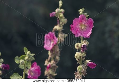 Blooming Pink Mallow Flowers (malva Alcea, Cut-leaved Mallow, Vervain Mallow Or Hollyhock Mallow) In