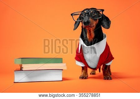 Funny Black And Tan Dachshund Dressed In Red And White Official Costume Professor And Glasses, Stand