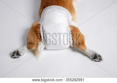 Top View Of Dog Welsh Corgi  Pembroke Lies In A Special Diaper Spreading Its Paws Back On A White Ba