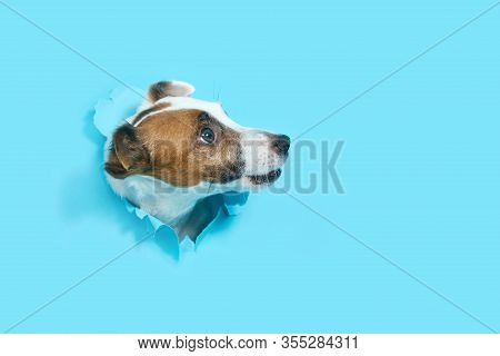 Jack Russell Terrier Breaks Through The Blue Paper Out Of The Hole. Empty Space For Text. The Dog Is