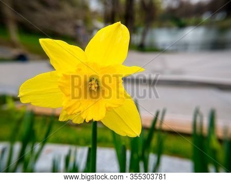 Narcissus Flower. Narcissus Daffodil Flower With Blurred Background.