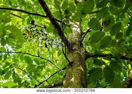 Upwards View Of A Walnut Tree With Green Leaves On A Sunny Day