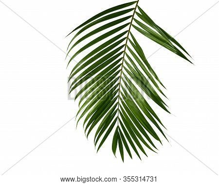 Green Palm Leaf Isolated On White