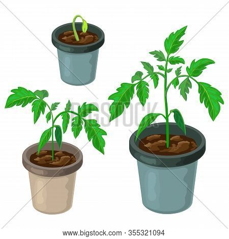 Tomato Plant In Pot Isolated. Healthy Young Tomato Seedlings Potted. Vector Realistic Illustration O