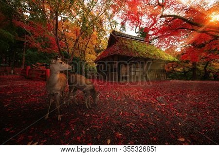 Deer Walk On Stack Of Maple  In Autumn With Traditional Hut Background