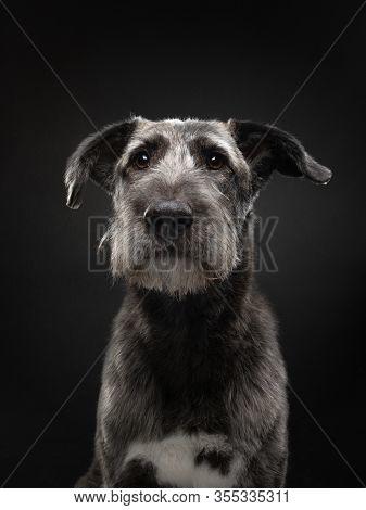 Beautiful Mix Breed On Dark Background. Gray Dog In Studio On Black. Pet Indoor