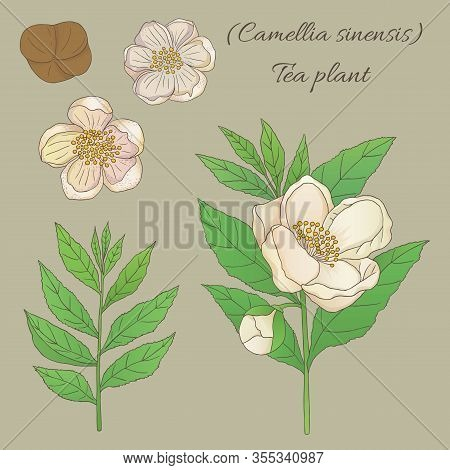 Tea Collection. Hand Drawn Tea Plant Camellia Sinensis With Flowers
