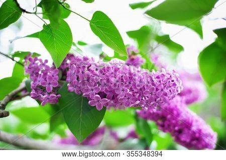 Blossom Lilac Flowers In Spring In Garden. Branch Of Blossoming Purple Lilacs In Spring. Blooming Li