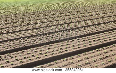 Intensive Agriculture And Small Sprouts Of Lettuge In The Field
