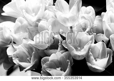 White Tulips On A Black Background. Spring Flowers. Bright, Contoured Light. Black And White Photo.