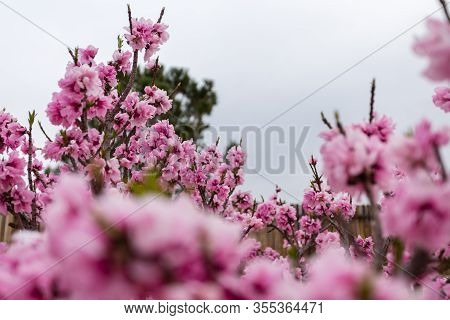 Beautiful Low Angle Close Up Shot Of Fully Bloomed Pink Apricot Flower With Nice Sky And Tree Backgr