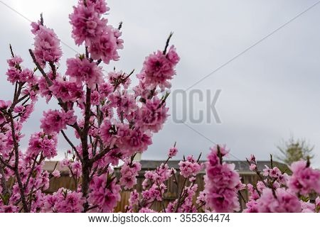 Beautiful Angle Close Up Shot Of Fully Bloomed Pink Apricot Flower With Nice Sky And House Roof In T
