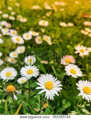 Spring Meadow White Flowers On Green Grass,