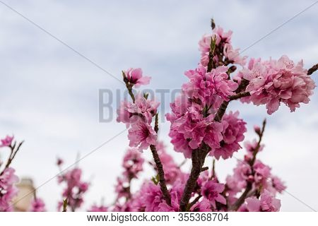 Beautiful Low Angle Close Up Shot Of Fully Bloomed Pink Apricot Flower Swaying In The Wind With Nice