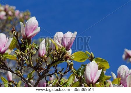 Close Up Photo Of Pink And Lavender Colored Magnolia Flowers Blooming On A Tree With Blue Sky Backgr
