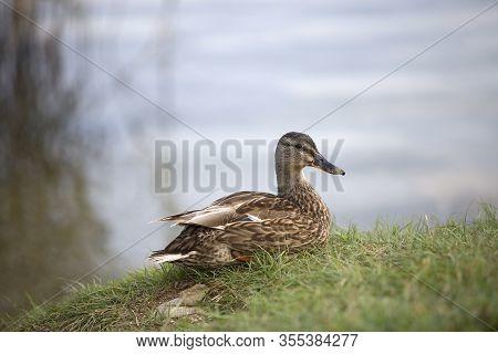 Female Mallard (anas Platyrhynchos) Duck On A Lake