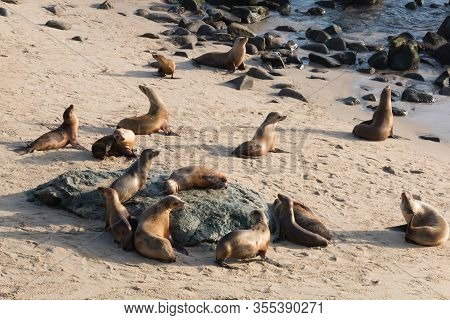 A Colony Of California Sea Lions (zalophus Californianus) At La Jolla Cove In San Diego County.