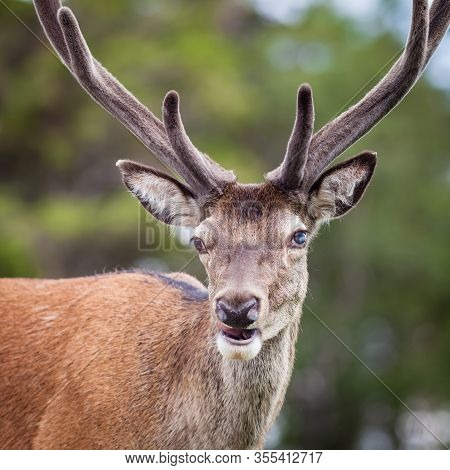 Stag Close Up.  A Close Up Picture Of A Red Deer Stag In The Scottish Highlands.